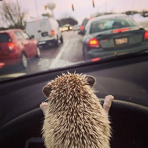 cute,driving,hedgehog