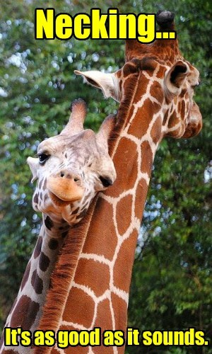 cute love necking giraffes