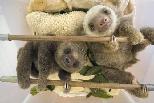 Slow Down, Take a Break, and Enjoy These Baby Sloths