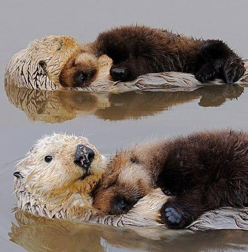 Babies cute snuggle otters