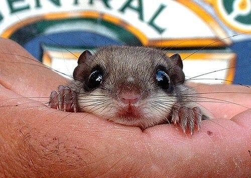 baby,cute,flying squirrel,surprised