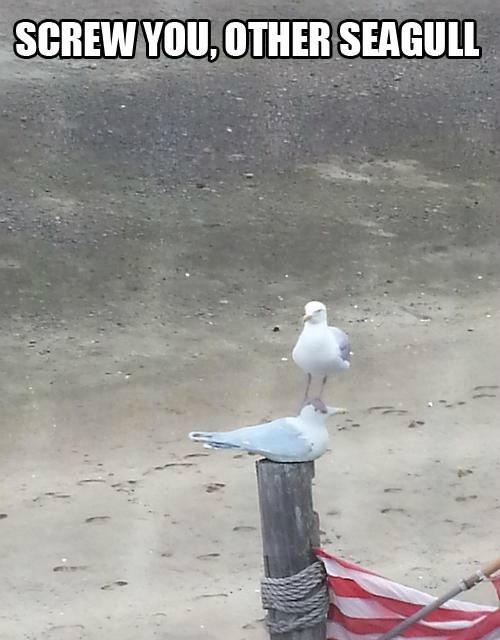 seagulls,animals being jerks