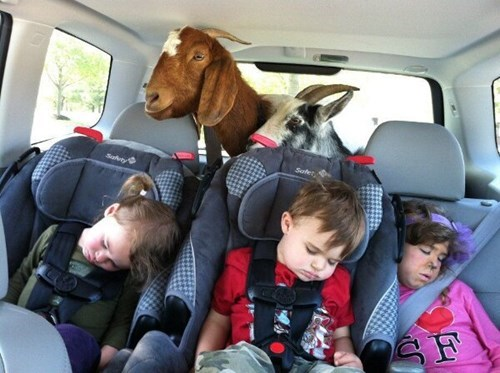 goat,kids,tired,cars,parenting