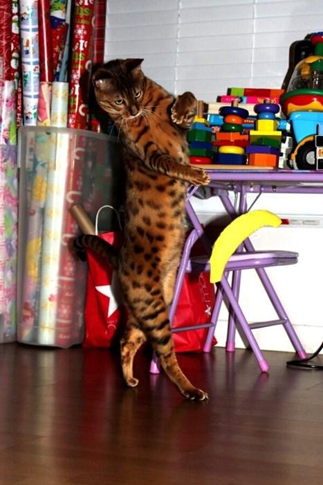 Cats bananas funny - 8101257472