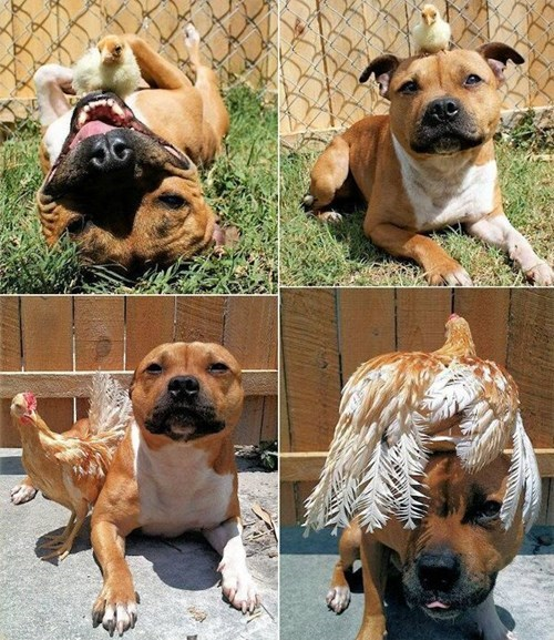 cute dogs friends chickens love - 8101266944