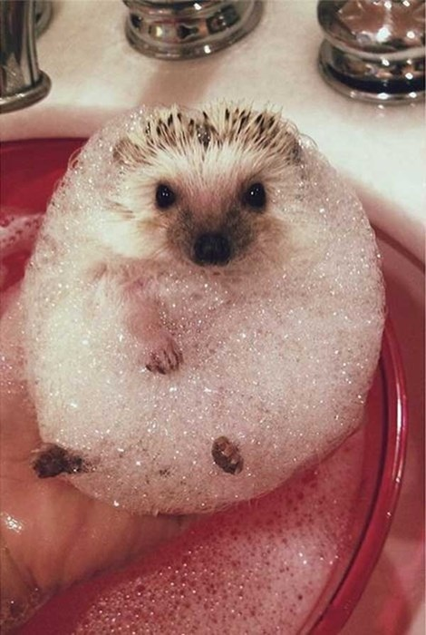 cute,hedgehog,bubble bath