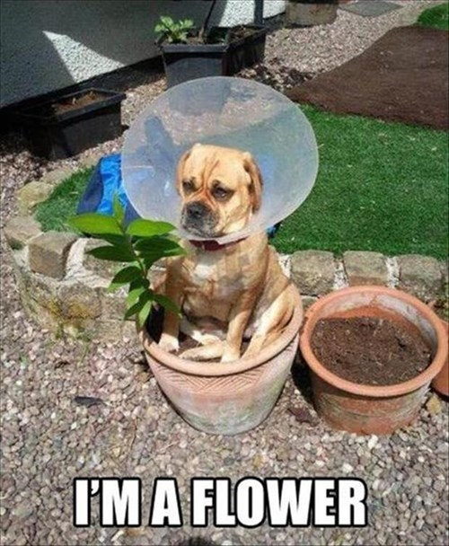 dogs,spring,cone of shame,flowers,grumpy