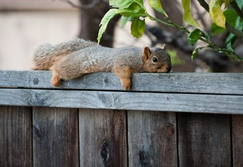 so cute squirrels naps on the fence - 8102662656