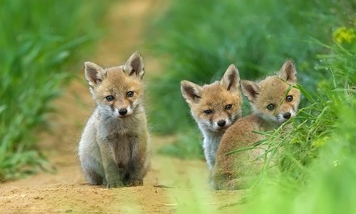 foxes,Babies,cute,noms