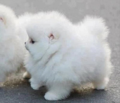 puppies Fluffy cute - 8103064064