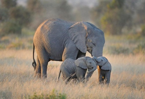 mama cute elephants twins