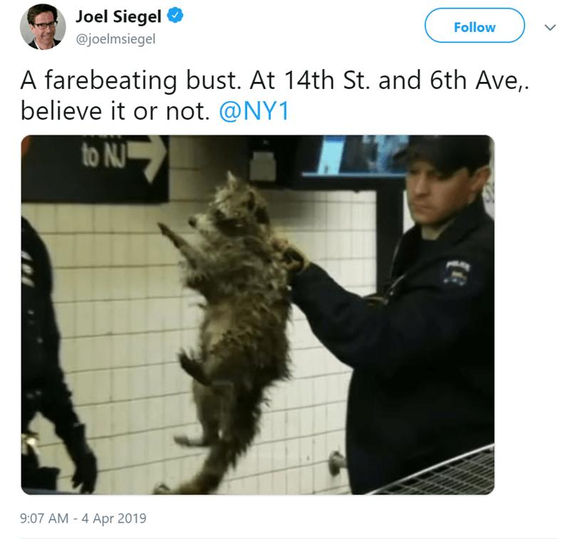 fare free nyc Subway raccoons - 8103685