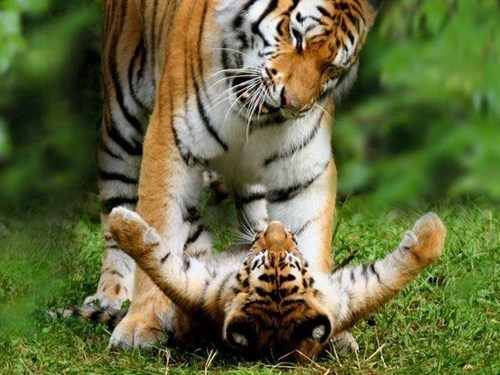 Babies cute love tigers - 8104452864