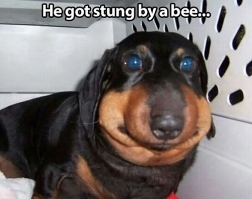 ouch dogs bee sting funny - 8106400768