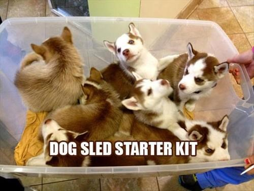 dogs dog sled cute