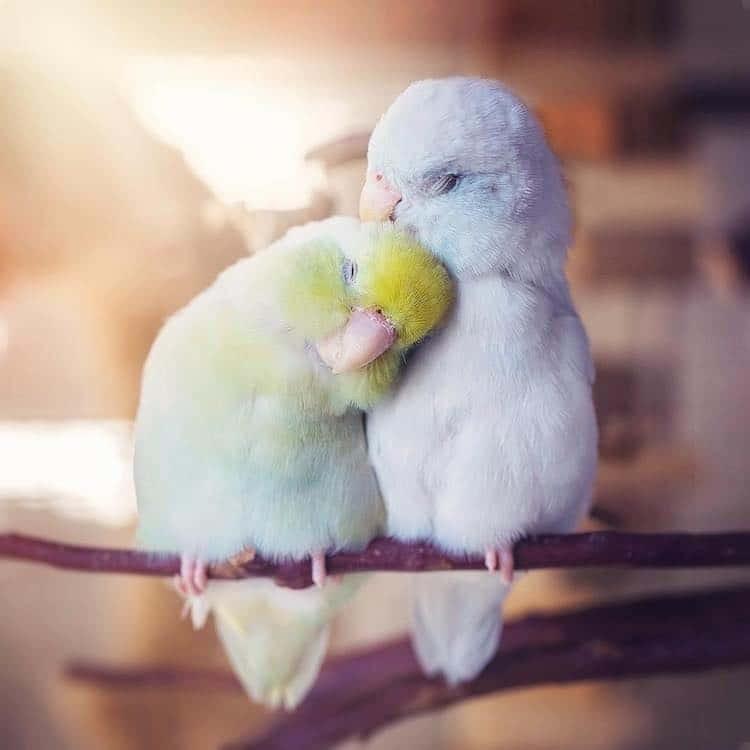 two pastel parrots snuggling