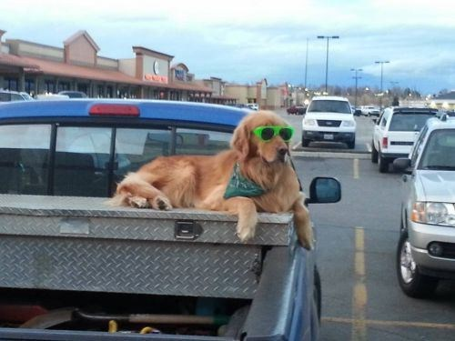 dogs,cool,guard,sunglasses