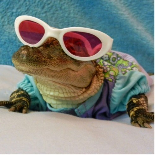 crocodile,sunglasses,poorly dressed