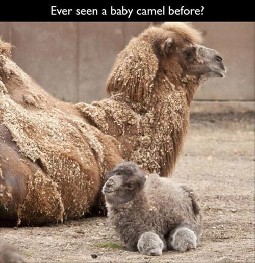 so cute Babies camels fuzzy - 8113410304