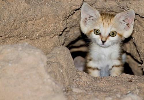 bears cute sand cat