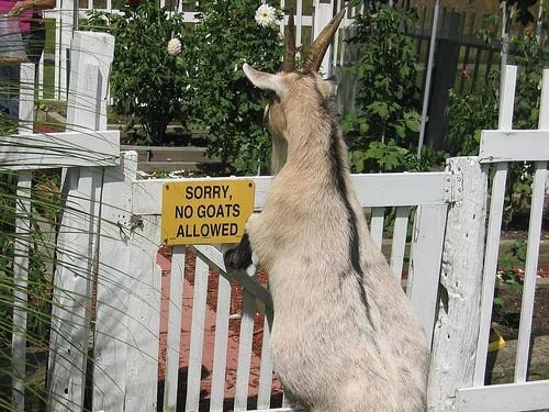 signs,goats,funny,not allowed
