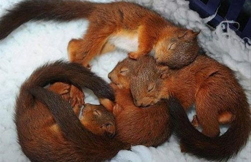 cute squirrels sleeping - 8114807296