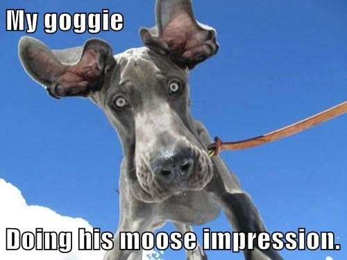 My goggie Doing his moose impression.