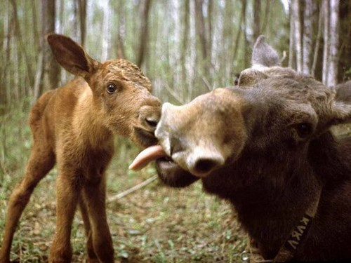Babies cute moose kissing - 8116355840
