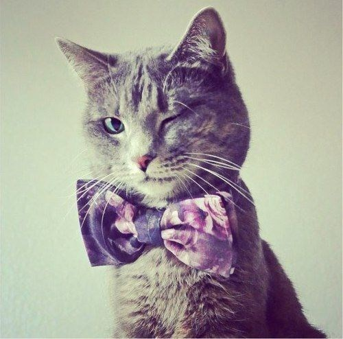 bow tie,Cats,charming,wink