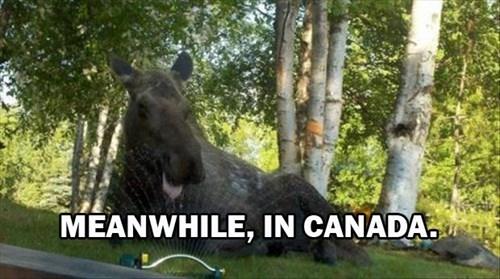 Canada,moose,spring,sprinkler