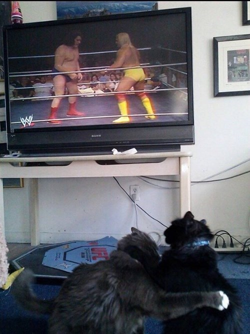 Hulk Hogan professional wrestling Cats funny - 8119764224