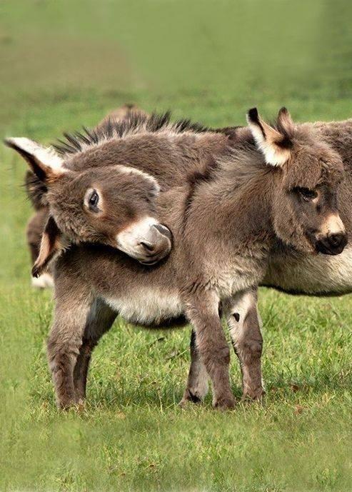 cute donkeys hug - 8120206848