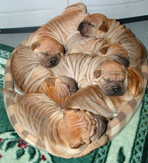 puppies wrinkles cute sleeping - 8120625408