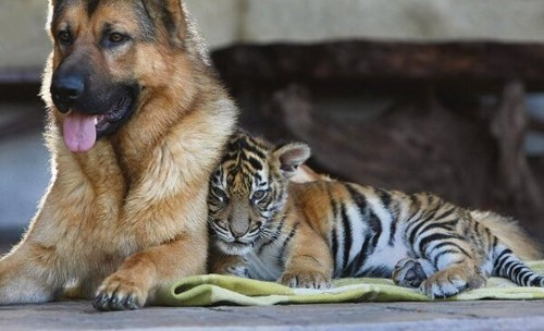dogs tigers friends unlikely cute - 8120627968