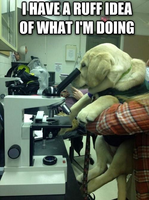 labrador Laboratory cute science - 8120634112