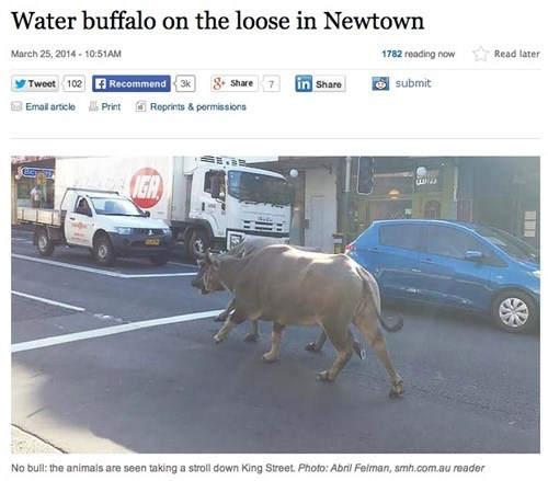 news Probably bad News water buffalo - 8121962496