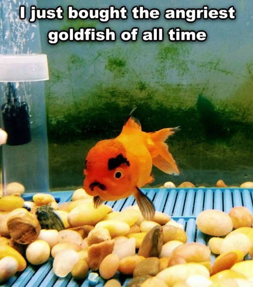 goldfish,angry,funny