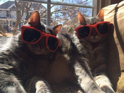 cool sunglasses poorly dressed Cats - 8122062080
