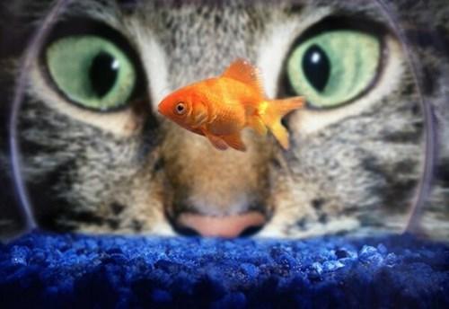 Cats,fish,funny,stare