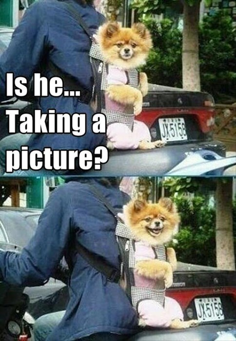 Funny pictures of a dog on the back of motorcycle, the top image is captioned that the dog is curious if you are taking his picture. In the following the frame is smiling for the camera.