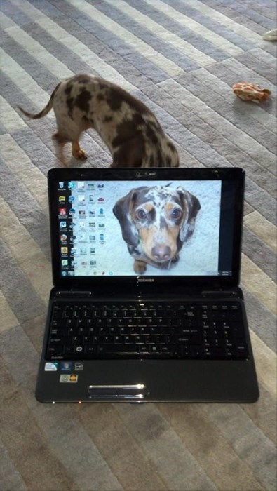 dogs computer laptop - 8123269632