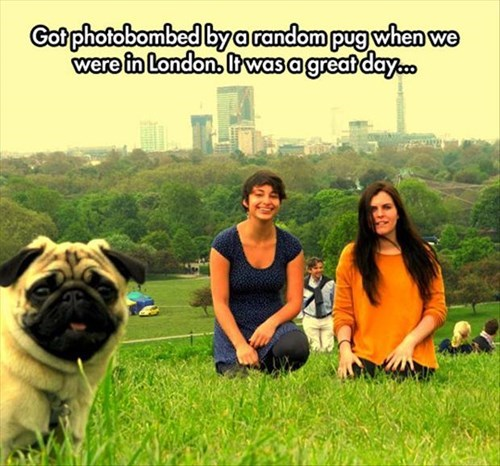 cute dogs pugs photobomb - 8124541696