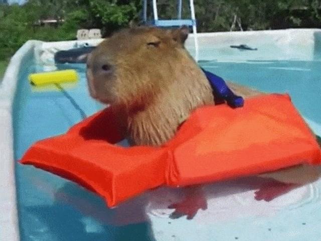 cute capybara gifs