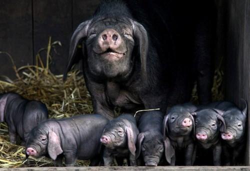 cute piglet pig - 8126053632