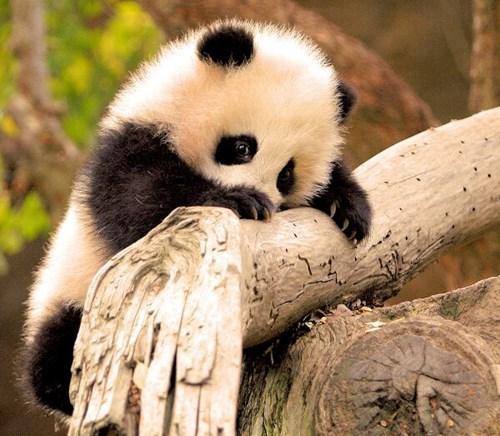 panda shy cute squee - 8129007104