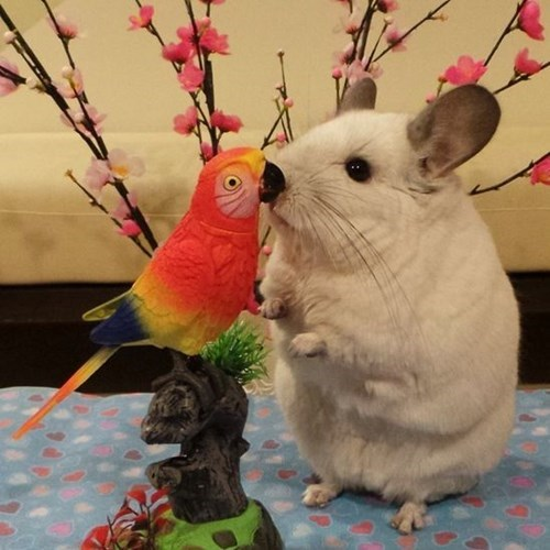 pets cute chinchilla - 8130198528