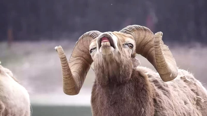 photoshop battle bighorn sheep