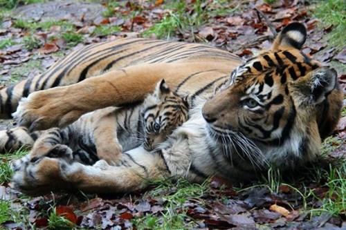 Babies tigers mama cute - 8131468032