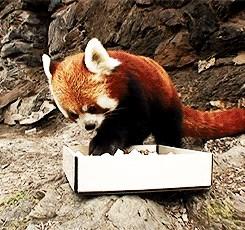 Red Panda Snacks on Some Sushi