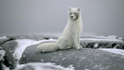 foxes,arctic fox,snow,cute